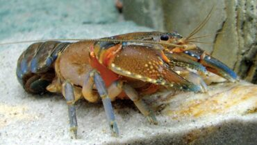 lobster jantan - budidaya lobster air tawar